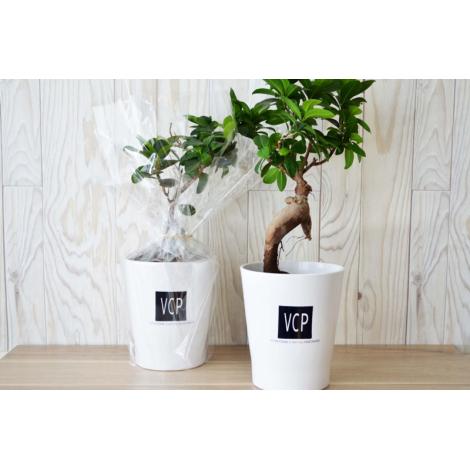 Bonsaï publicitaire pot personnalisable - Ficus Ginseng