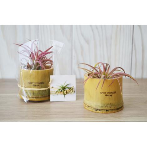 Plante dépolluante publicitaire - Tillandsia